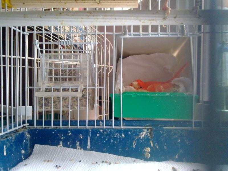 La primera cría de canario de este año me la encontré tiesa a los 13 días de vida Canari10