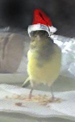 La primera cría de canario de este año me la encontré tiesa a los 13 días de vida Defren10