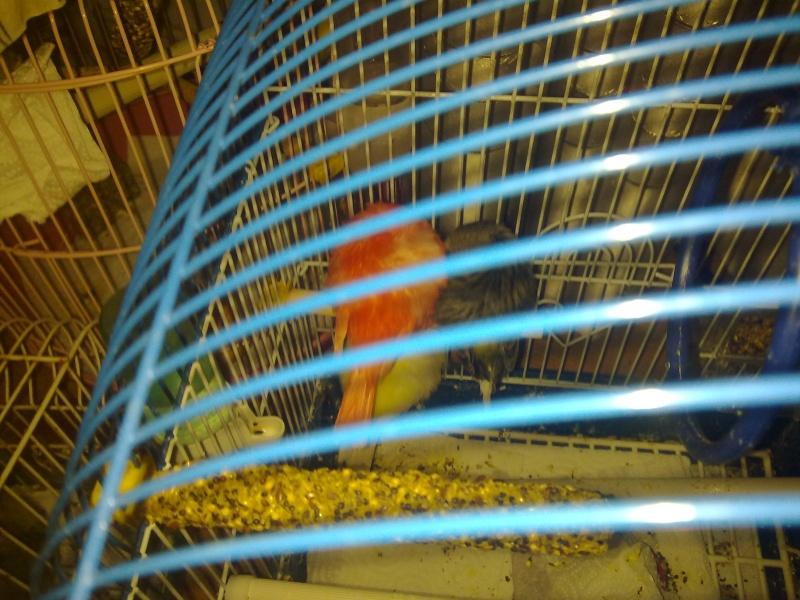 La primera cría de canario de este año me la encontré tiesa a los 13 días de vida Durmie11