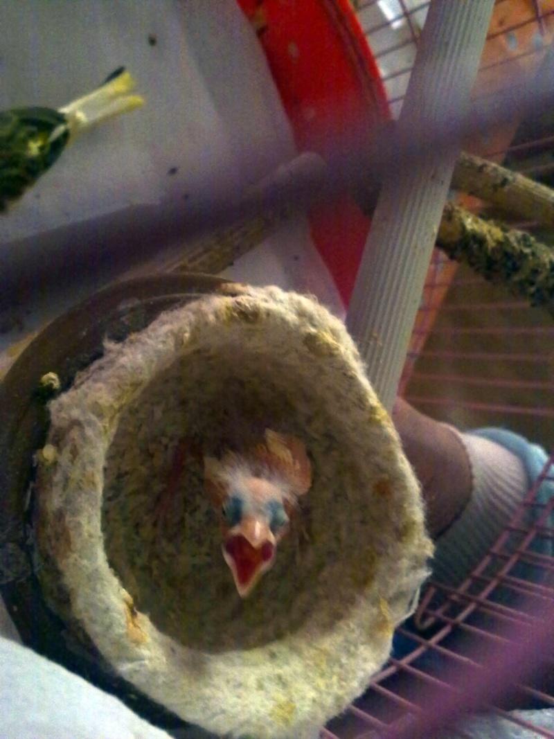 La primera cría de canario de este año me la encontré tiesa a los 13 días de vida Pollue11