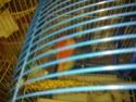 La primera cría de canario de este año me la encontré tiesa a los 13 días de vida Durmie10