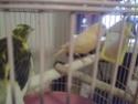 La primera cría de canario de este año me la encontré tiesa a los 13 días de vida Espejo11