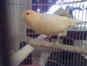 La primera cría de canario de este año me la encontré tiesa a los 13 días de vida Pichi110