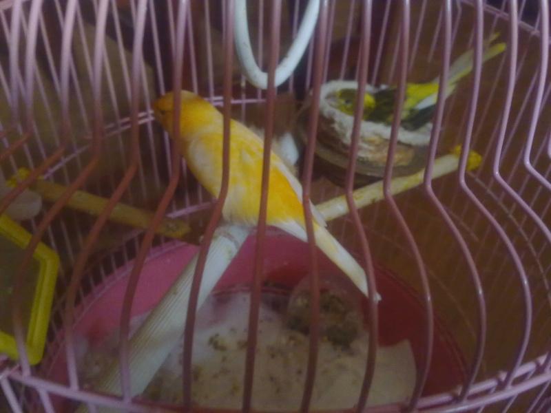 La primera cría de canario de este año me la encontré tiesa a los 13 días de vida Zipien10