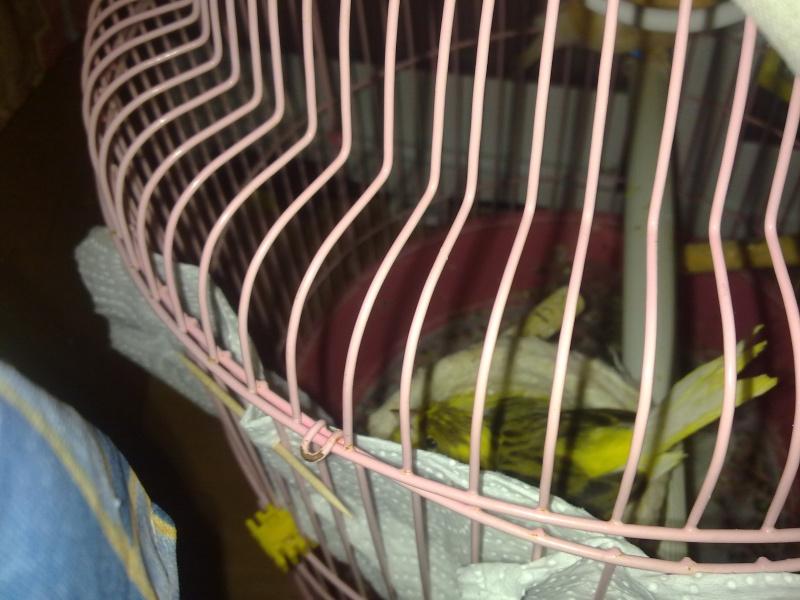La primera cría de canario de este año me la encontré tiesa a los 13 días de vida Zipien11