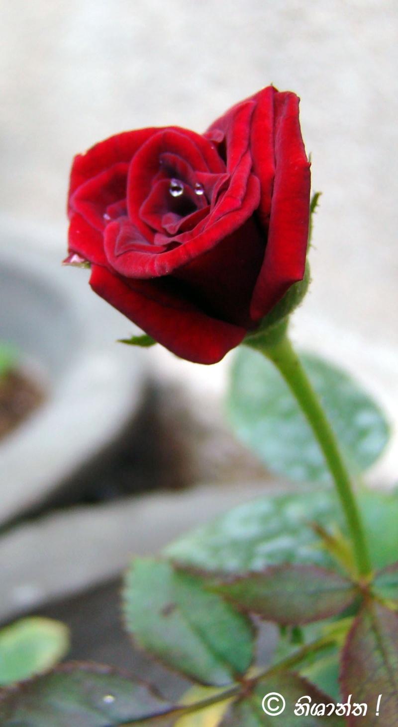 Rose Flower Rose-112