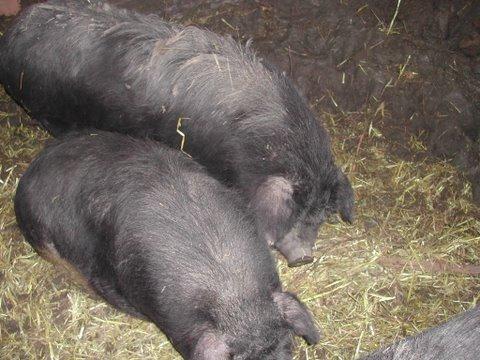 4 cochons vietnamiens maltraités (49) Web_ch40