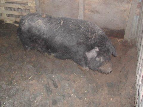 4 cochons vietnamiens maltraités (49) Web_ch41