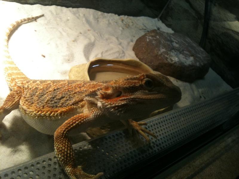 mes reptiles Pour_a12