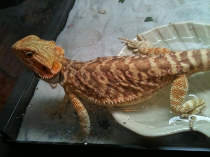 mes reptiles Pour_a13