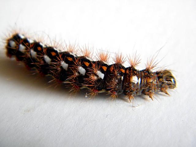 [Acronycta rumicis]Identification chenille Chenil18