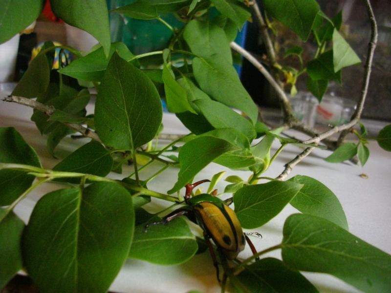 Eudicella gralli Imgp1028