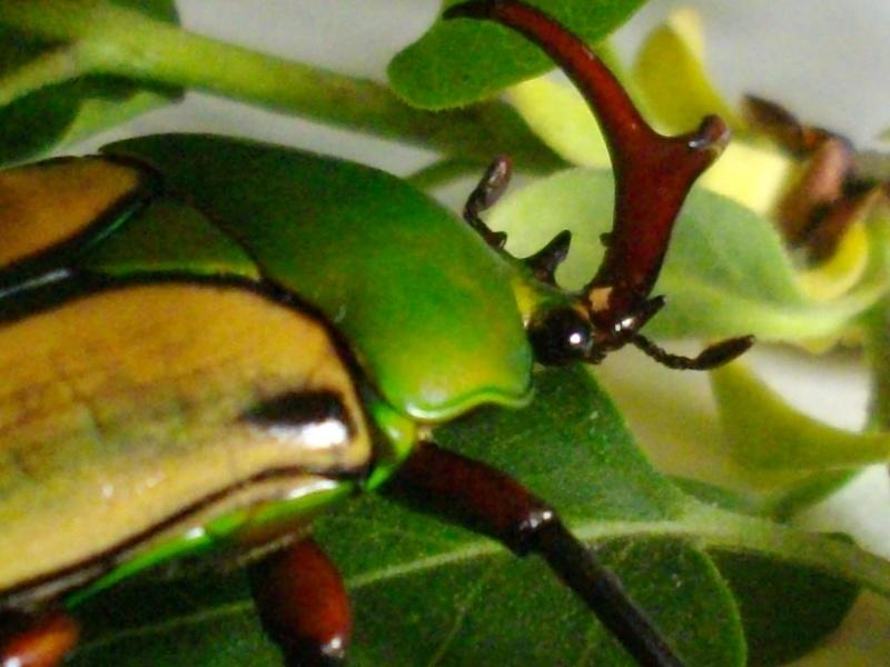 Eudicella gralli Imgp1032