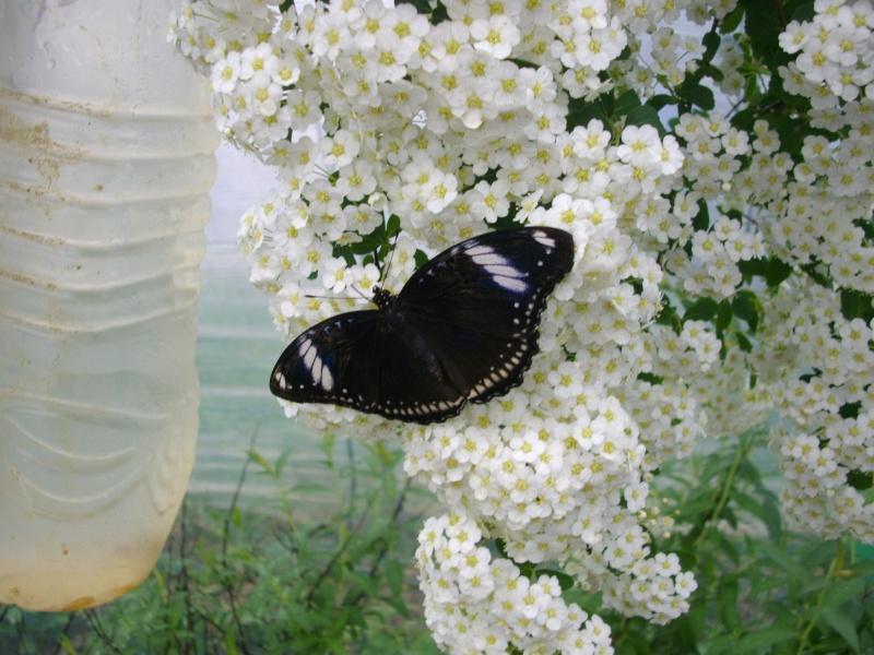 papillon de l'elevage de phasmesminet Imgp1224
