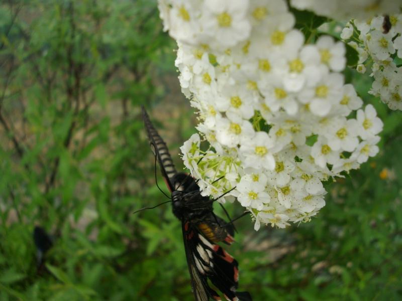 papillon de l'elevage de phasmesminet Imgp1225