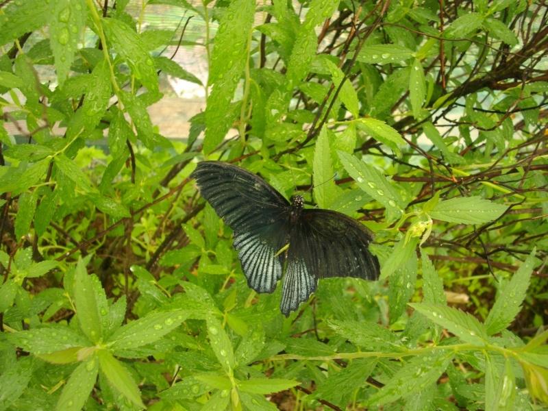 papillon de l'elevage de phasmesminet Imgp1226