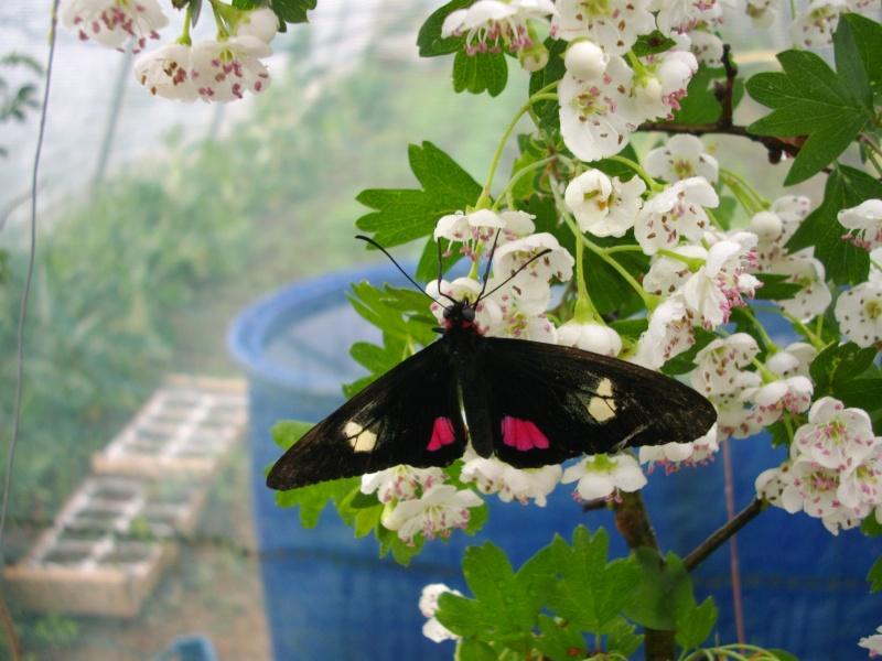 papillon de l'elevage de phasmesminet Imgp1227