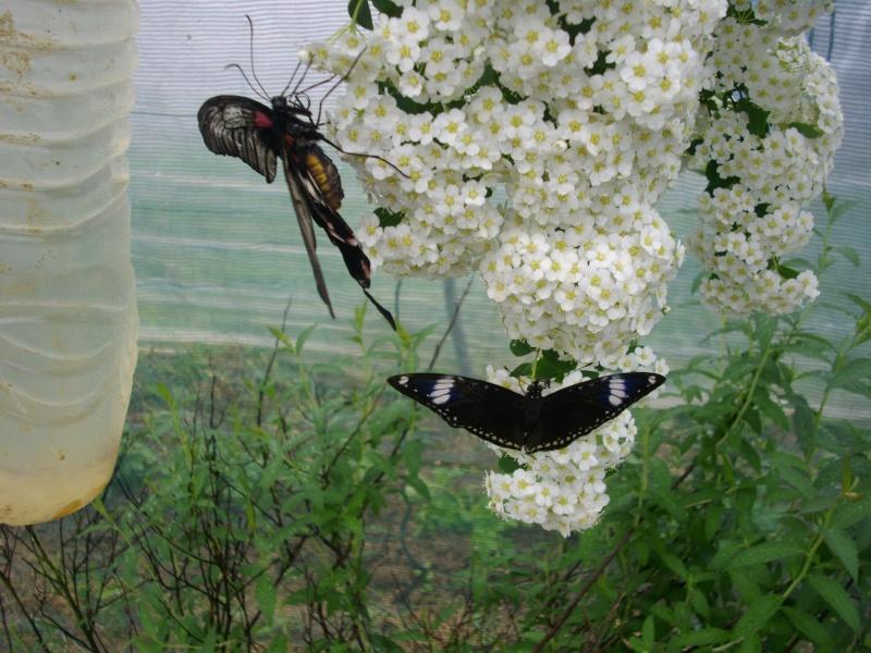 papillon de l'elevage de phasmesminet Imgp1230