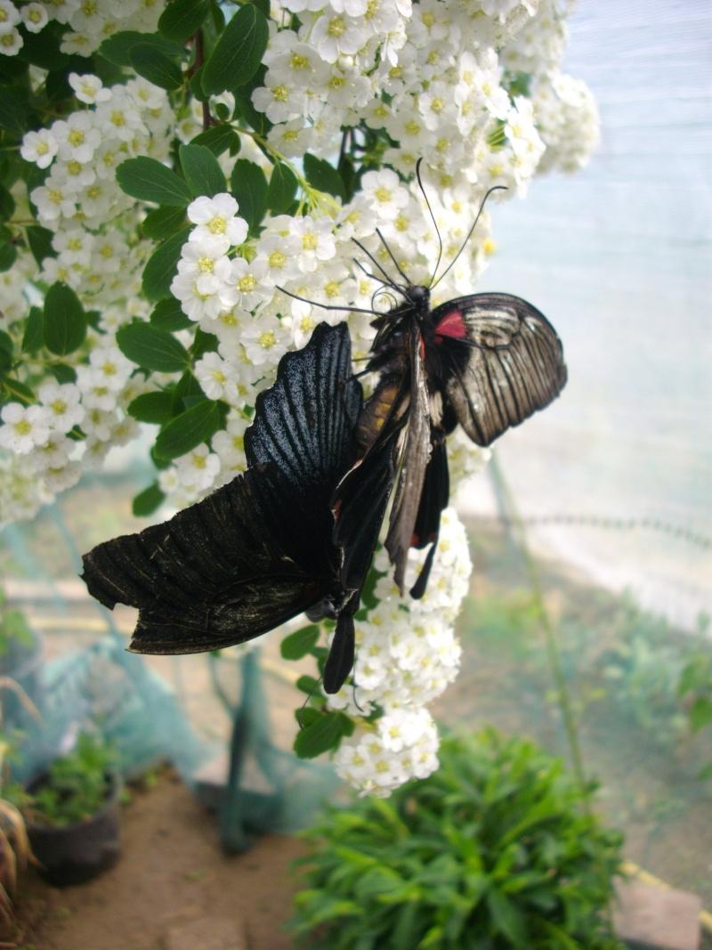 papillon de l'elevage de phasmesminet Imgp1231