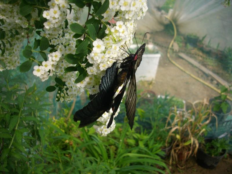 papillon de l'elevage de phasmesminet Imgp1232