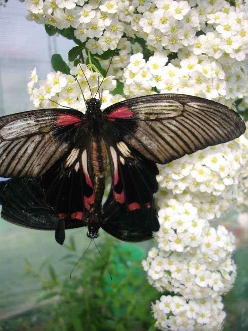 papillon de l'elevage de phasmesminet Imgp1233