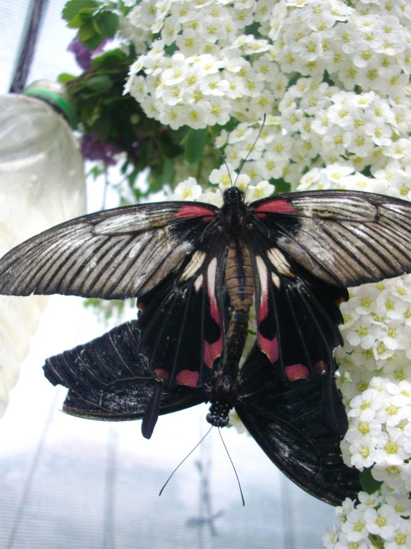 papillon de l'elevage de phasmesminet Imgp1234