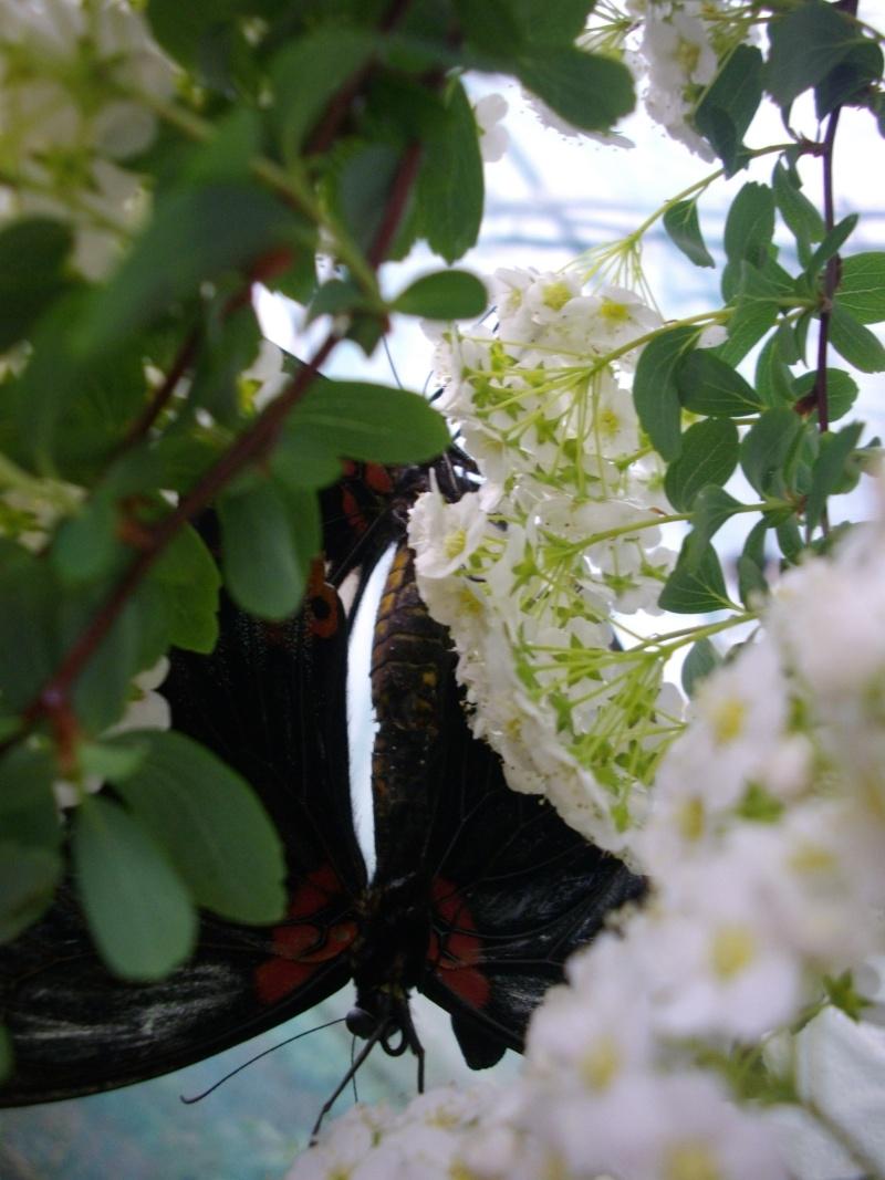 papillon de l'elevage de phasmesminet Imgp1235