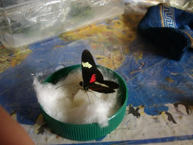 papillon de l'elevage de phasmesminet Imgp1236