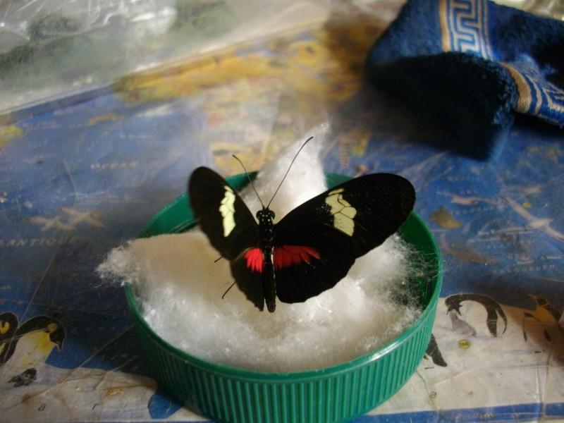 papillon de l'elevage de phasmesminet Imgp1237