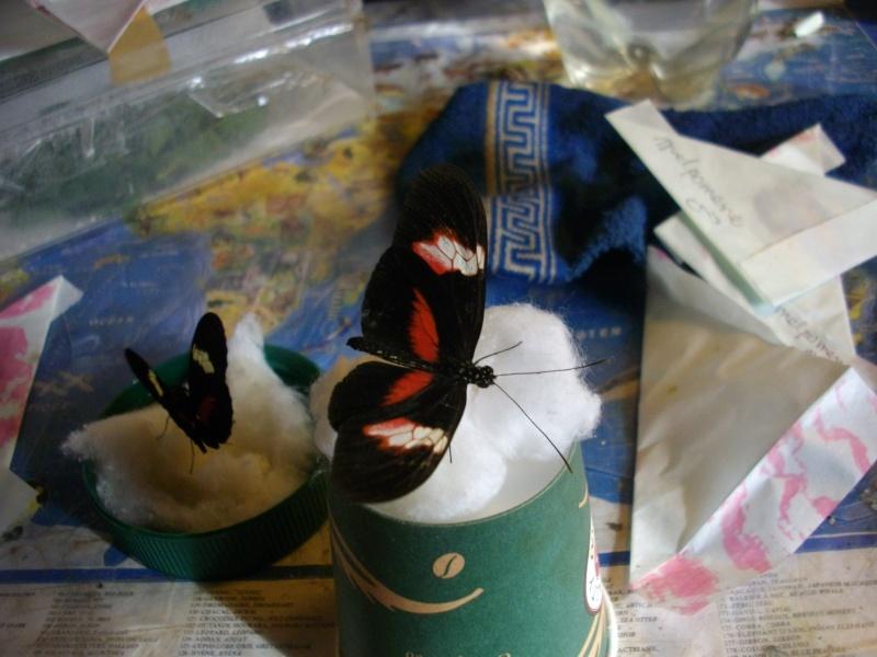 papillon de l'elevage de phasmesminet Imgp1238