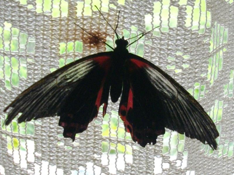 papillon de l'elevage de phasmesminet Imgp1247