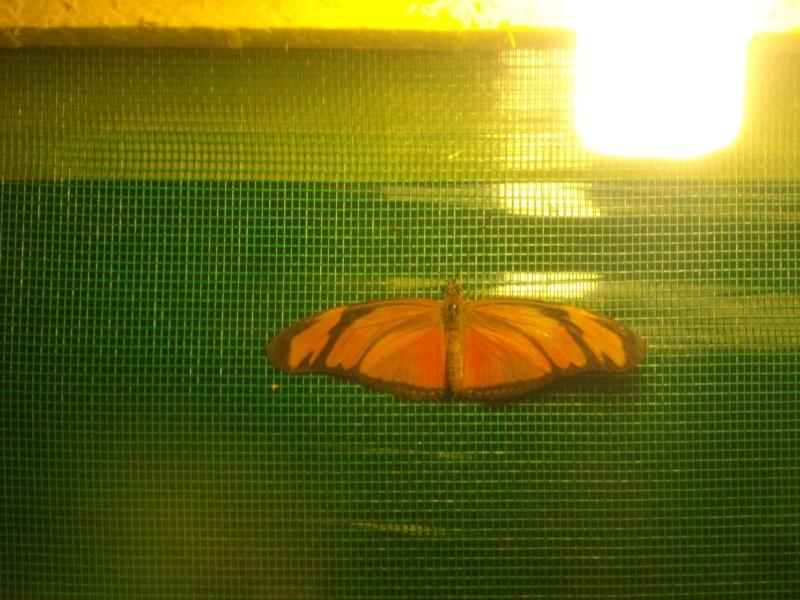 papillon de l'elevage de phasmesminet Imgp1248