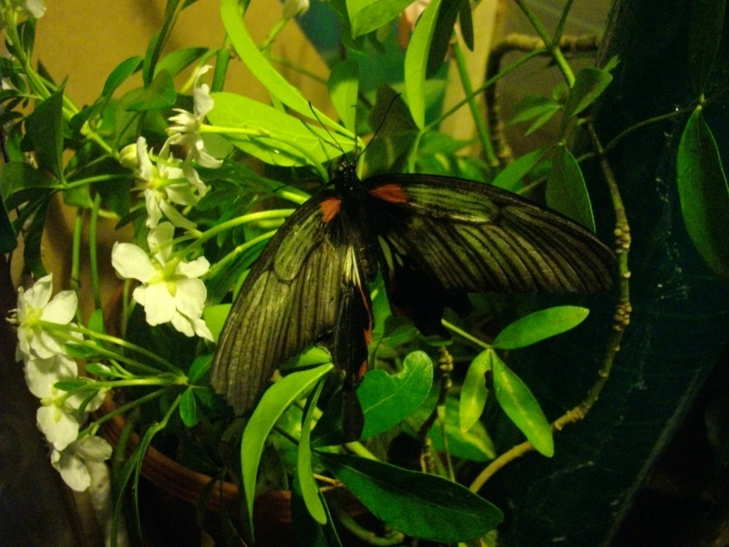 papillon de l'elevage de phasmesminet Imgp1335