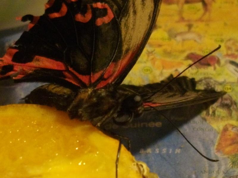 papillon de l'elevage de phasmesminet Imgp1336