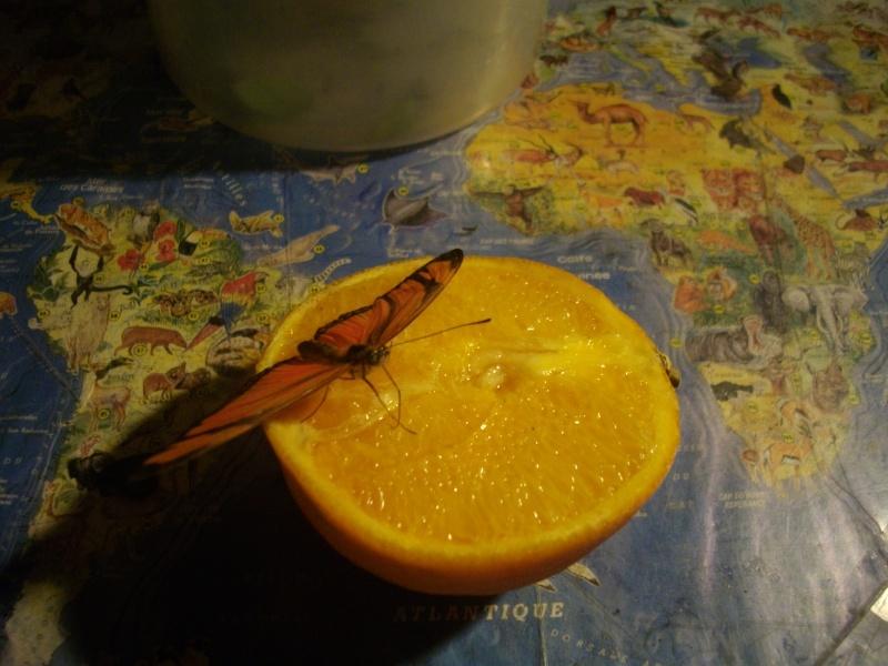 papillon de l'elevage de phasmesminet Imgp1337