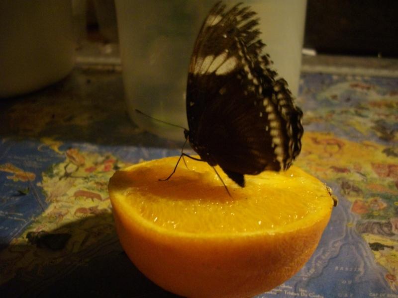 papillon de l'elevage de phasmesminet Imgp1338