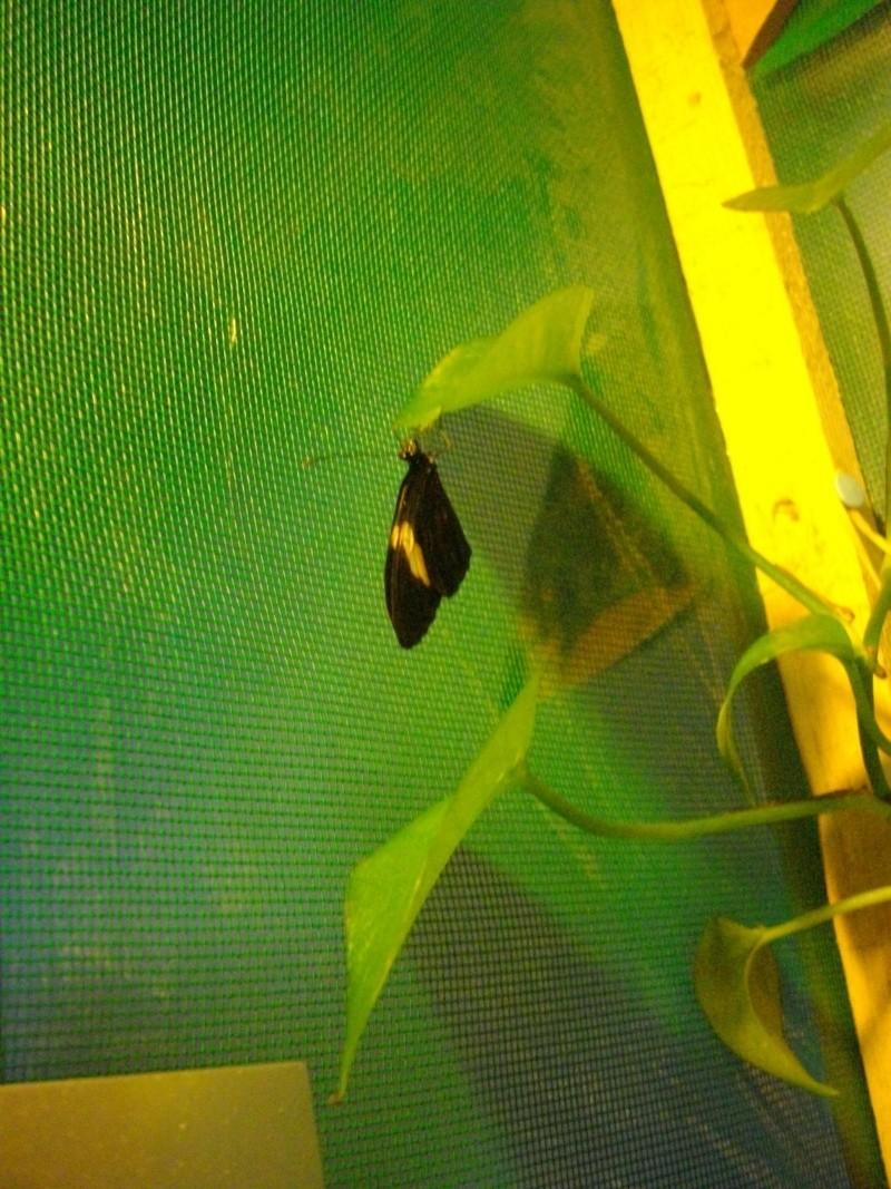 papillon de l'elevage de phasmesminet Imgp1341
