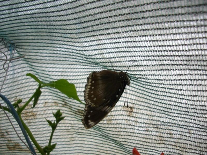 papillon de l'elevage de phasmesminet Imgp2355