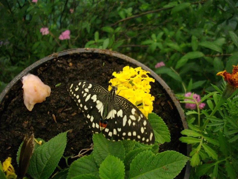papillon de l'elevage de phasmesminet Imgp2357