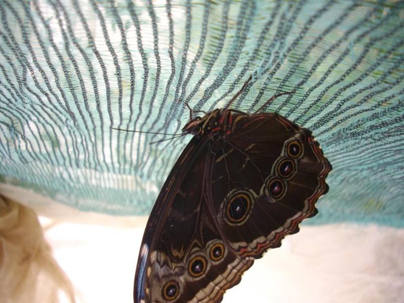 papillon de l'elevage de phasmesminet Imgp2438