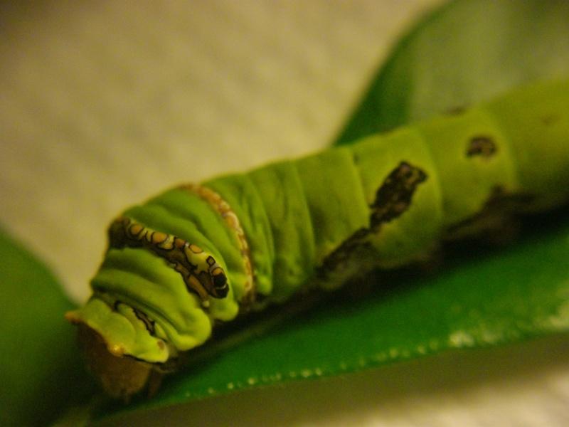 papillon de l'elevage de phasmesminet Imgp2443