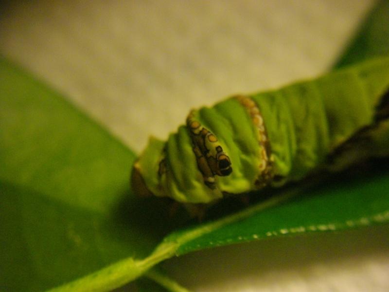 papillon de l'elevage de phasmesminet Imgp2444