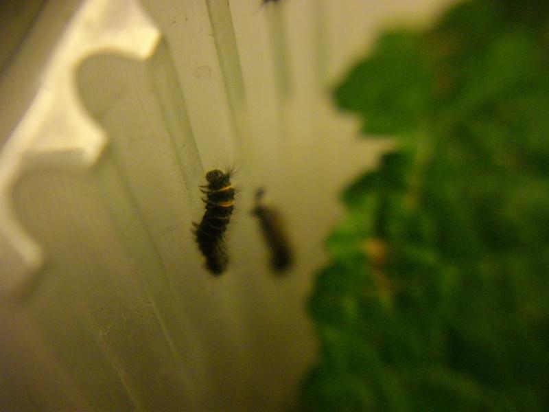 papillon de l'elevage de phasmesminet Imgp2448