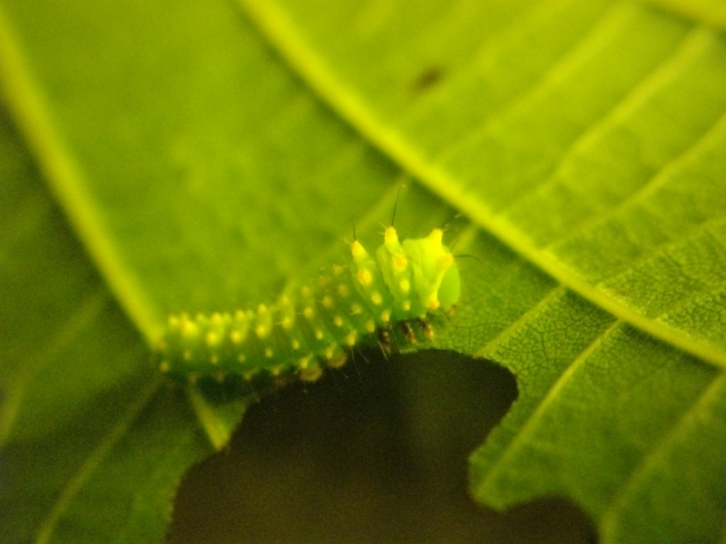 papillon de l'elevage de phasmesminet Imgp2449