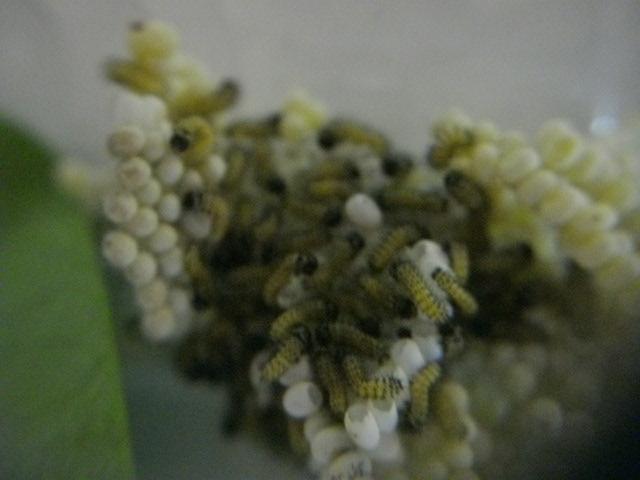 papillon de l'elevage de phasmesminet Imgp2515