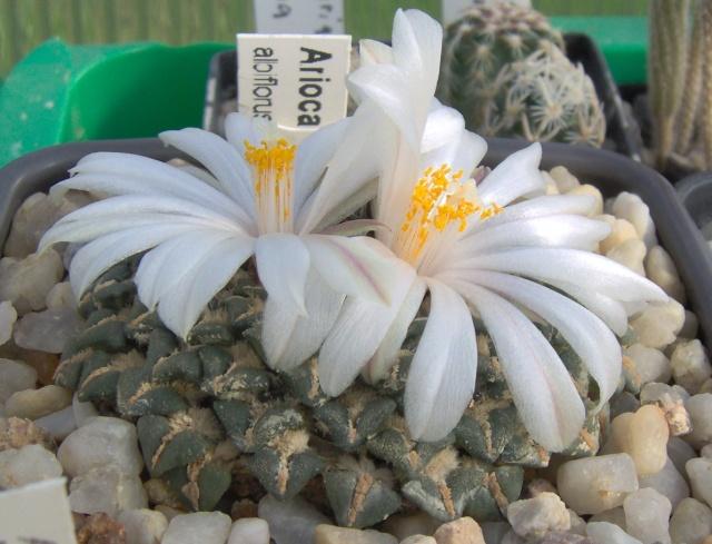 Ariocarpus kotschoubeyanus var. albiflorus Im000310