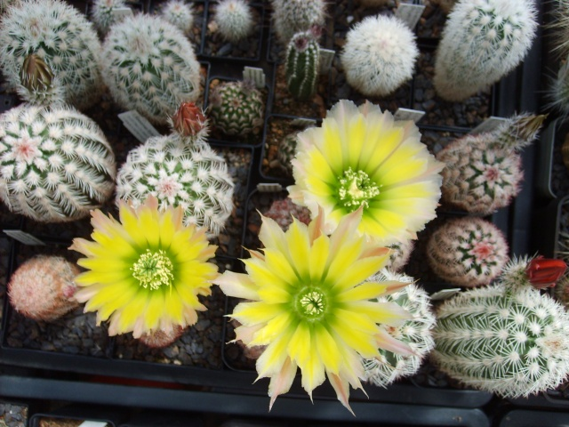 Blütenbilder 2010 - Seite 5 Sd532514