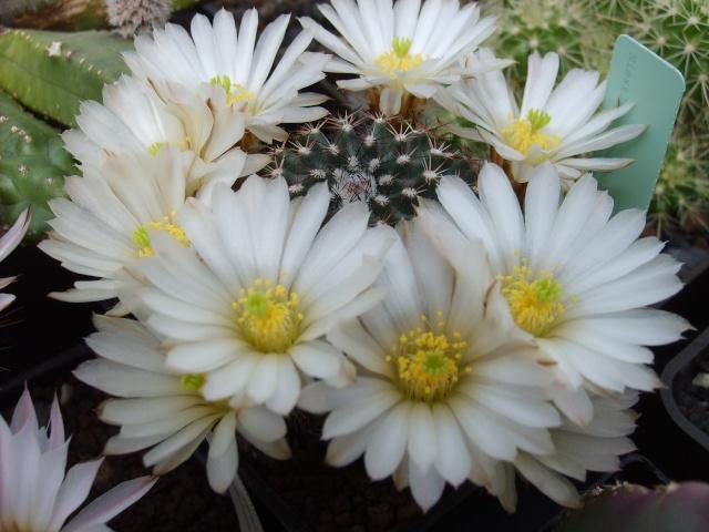 Blütenbilder 2010 - Seite 6 Sd532527