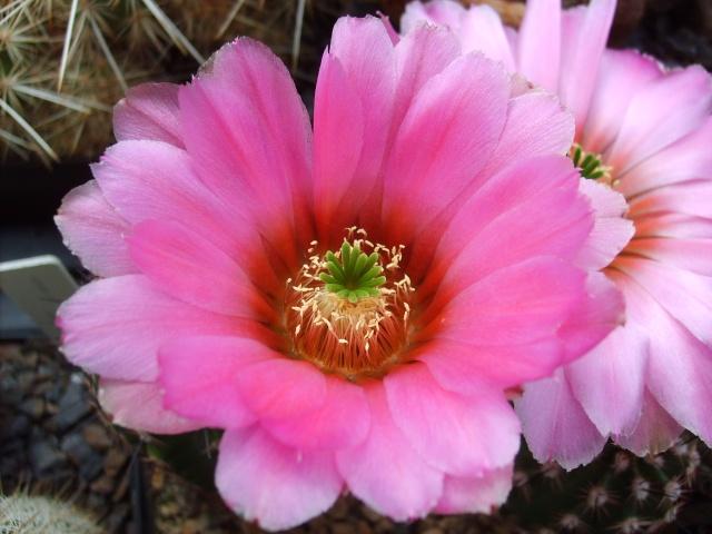 Blütenbilder 2010 - Seite 6 Sd532529