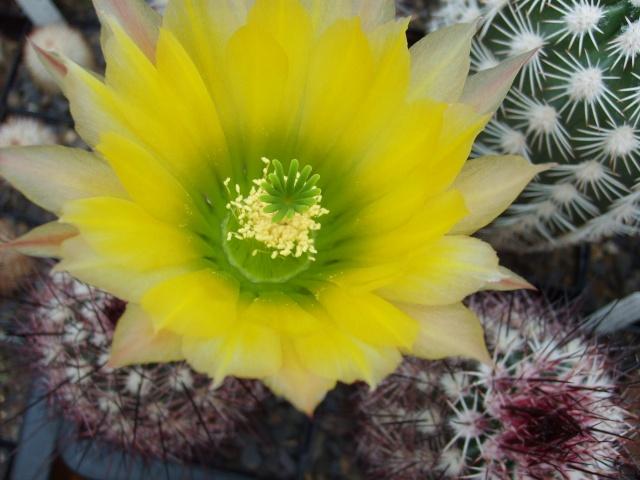 Blütenbilder 2010 - Seite 6 Sd532537